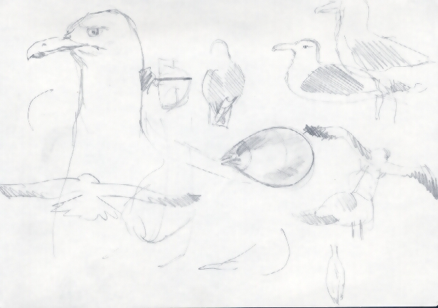 GullSketch1